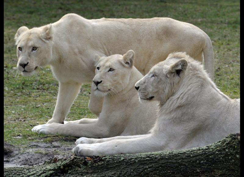The white lions 'Snoary'(R) and 'Kotenay' (C) lie next to 'Brooks' for the first time in their 'drive through' enclosure at the Serengeti animal park in Hodenhagen, northern Germany on March 30, 2010. The three white lions arrived at the zoo mid January 2010 from South Africa. AFP PHOTO DDP/ STEFAN SIMONSEN GERMANY OUT (Photo credit should read STEFAN SIMONSEN/AFP/Getty Images)
