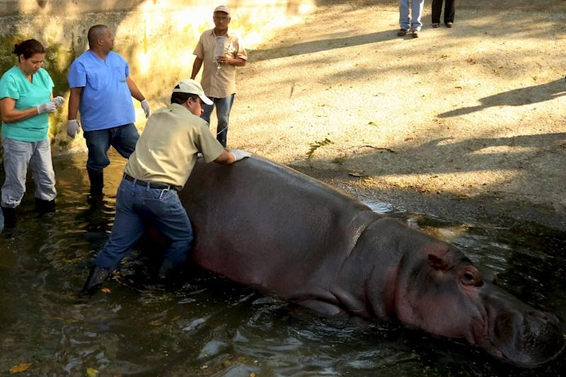 Veterinarians tend to a hippo named Gustavito at the National Zoo of El Salvador, in San Salvador, just hours before his death on February 27, 2017