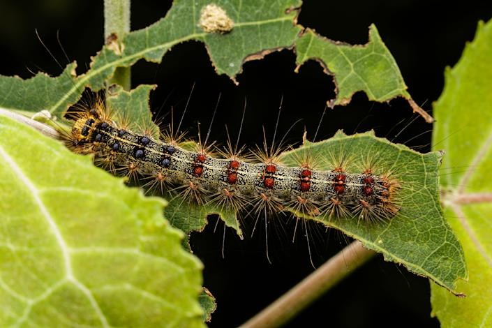 Large gypsy moth caterpillar sitting on a tree leaf. Representative image.  (Getty Images/iStockphoto)