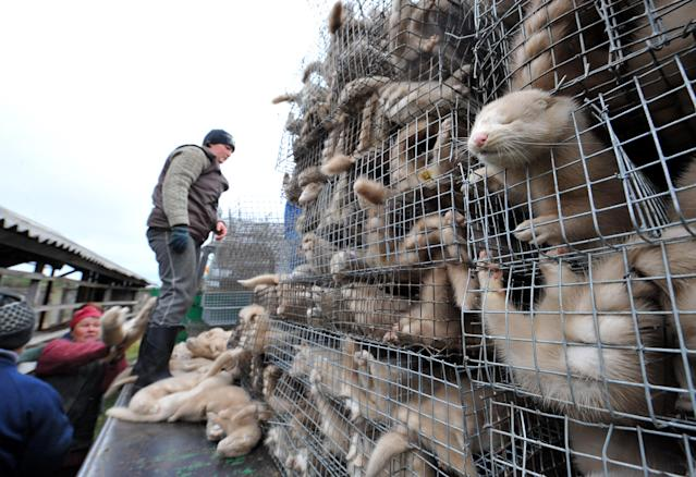 Two mink fur farms in the Netherlands have been found to have animals infected with COVID-19. Source: Getty stock