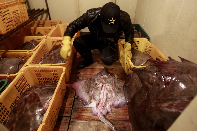 In this Feb. 19, 2014 photo, Shin Jin-woo, 32, a seafood store worker, arranges skates at a fermentation refrigerator in Mokpo, South Korea. The aroma of one of South Korea's most popular delicacies is regularly compared to rotting garbage and filthy bathrooms. And that's by fans. The unusual dish is typically made by taking dozens of fresh skate, a cartilage-rich fish that looks like a stingray, stacking them up in a walk-in refrigerator and waiting. Up to a month in some cases. (AP Photo/Ahn Young-joon)