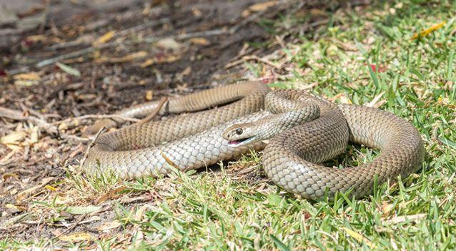 Volunteers initially believed the eggs were laid by two brown snakes. Source: Getty (stock image)