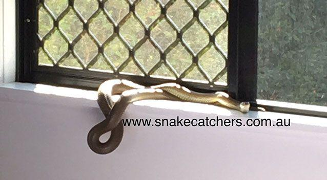 The resident who called the snake catcher first spotted it on a window sill. Source: Supplied