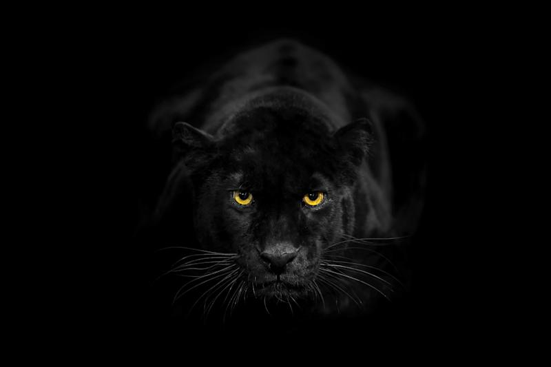 Black leopard also called black panther. He's a melanistic leopard. His colour is black but has ghost stripes.Studio shoot.