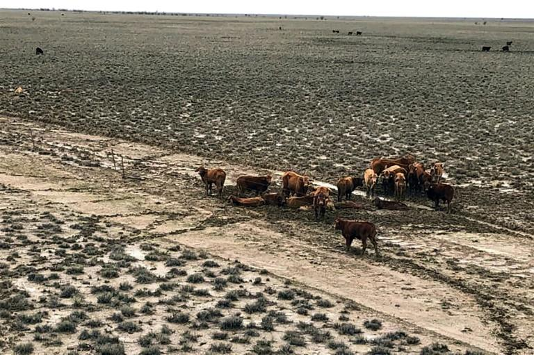 Around half of Australia's 25-million strong cattle herd are bred in Queensland, with an estimated one in 40 animals killed in the flood disaster