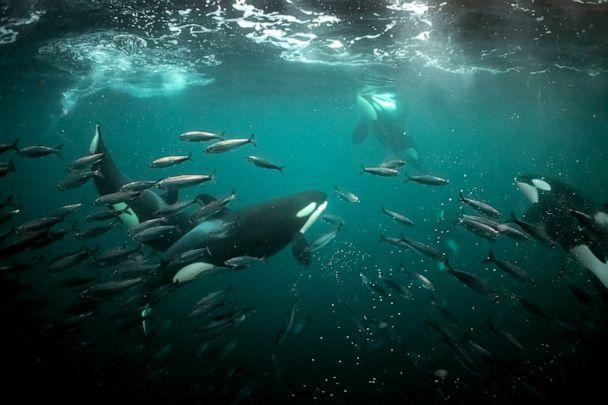 PHOTO: An orca family works cooperatively to herd herring into bait balls in the Norwegian Arctic.  (Brian Skerry)