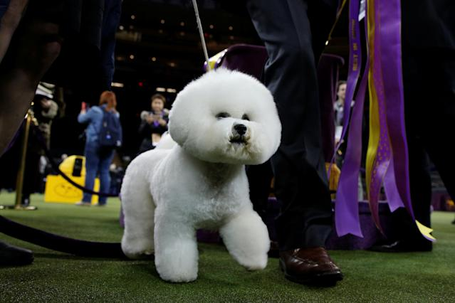 Flynn, a bichon frise and winner of Best In Show exits the ring after winning the 142nd Westminster Kennel Club Dog Show in New York, U.S., February 14, 2018. REUTERS/Brendan McDermid