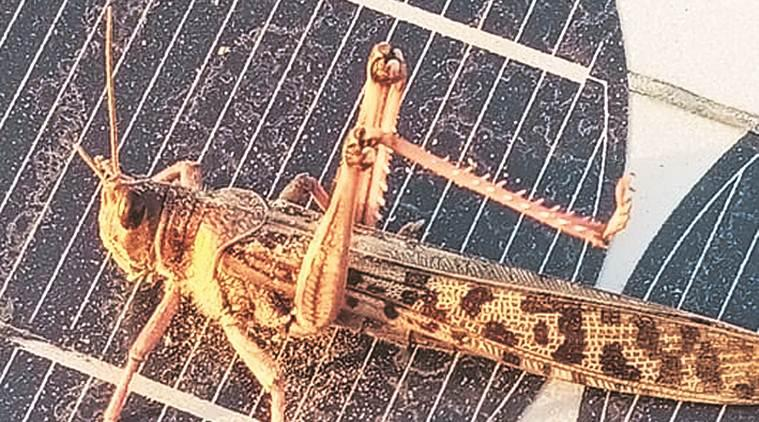 After drones and drugs, locusts from Pakistan raise concerns in Punjab