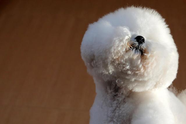 "Flynn, a Bichon Frise, appears at the One World Observatory a day after winning the ""Best in Show"" at the Westminster Kennel Club Dog Show in Manhattan, New York, U.S., February 14, 2018. REUTERS/Andrew Kelly TPX IMAGES OF THE DAY"
