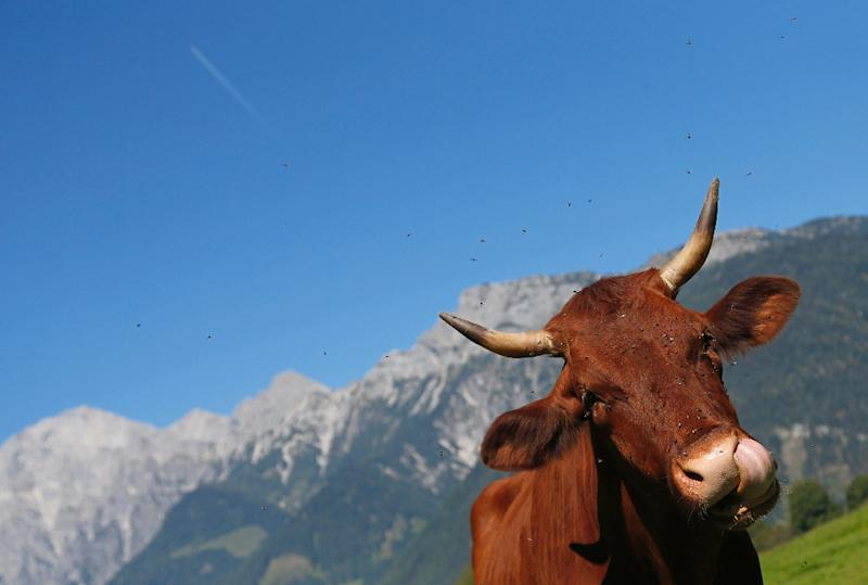 Balancing the activities of tourists and cattle farmers is a sensitive topic in Austria's mountain regions