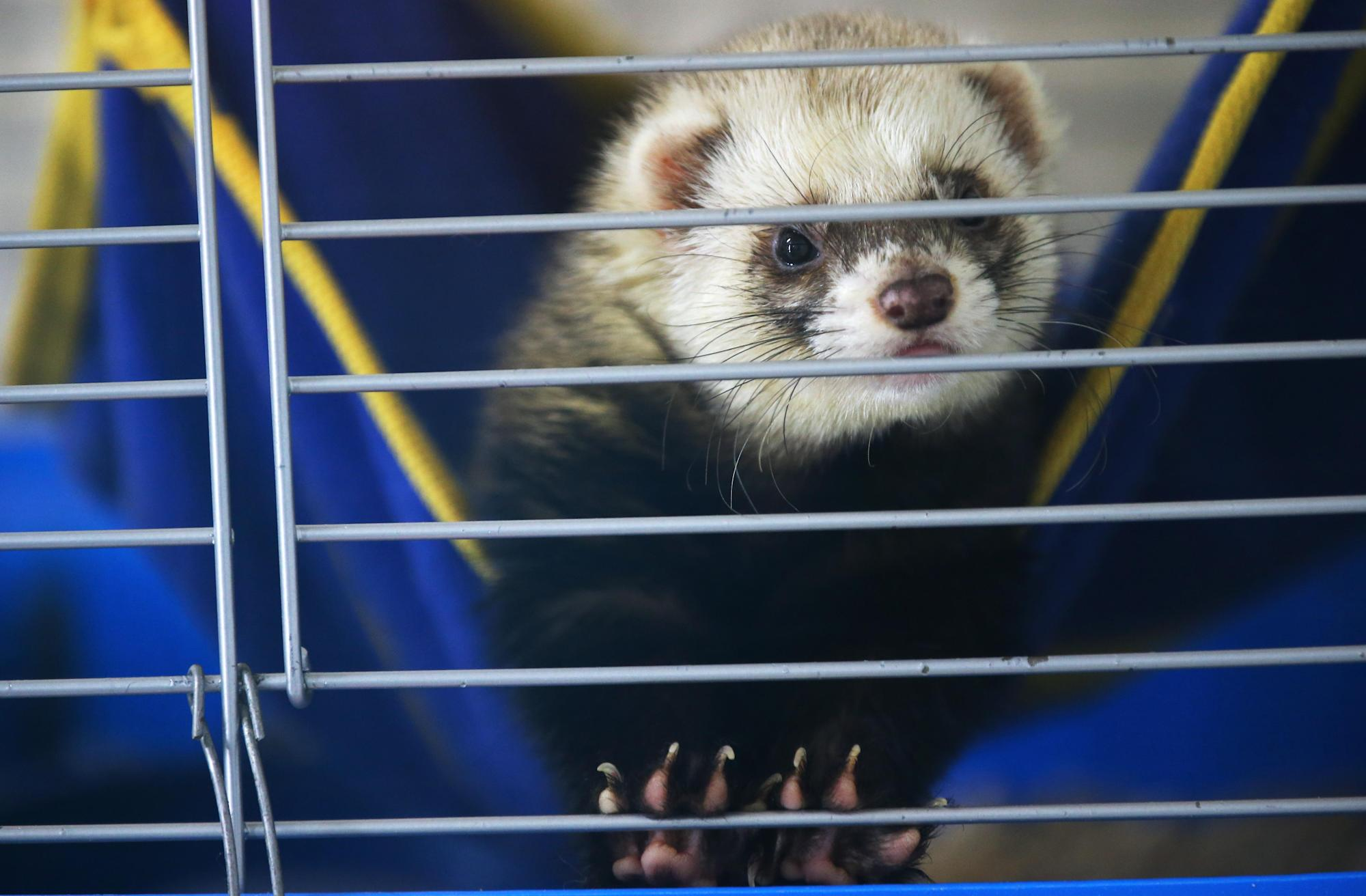 Nasal Spray Prevents COVID Infection in Ferrets, Study Finds