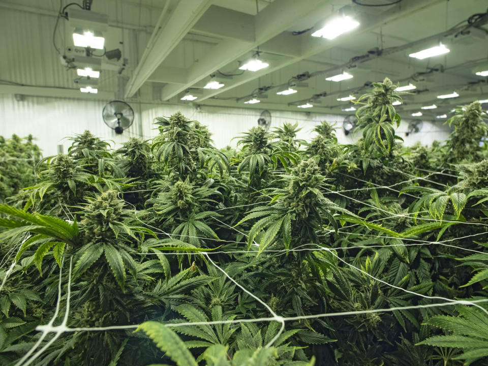 An up-close view of flowering cannabis plants in an indoor grow farm.