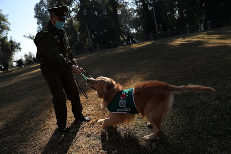 Police officer Jose Vallejos plays with golden retriever sniffing dog 'Clifford', wearing a distinctive jacket reading 'Biodetector', during a break at the training site for sniffing dogs of the Chilean police which is developing a training program to detect the coronavirus disease (COVID-19) in highly frequented places in Santiago, Chile July 28, 2020. Picture taken July 28, 2020. REUTERS/Ivan Alvarado (Photo: Ivan Alvarado / reuters)