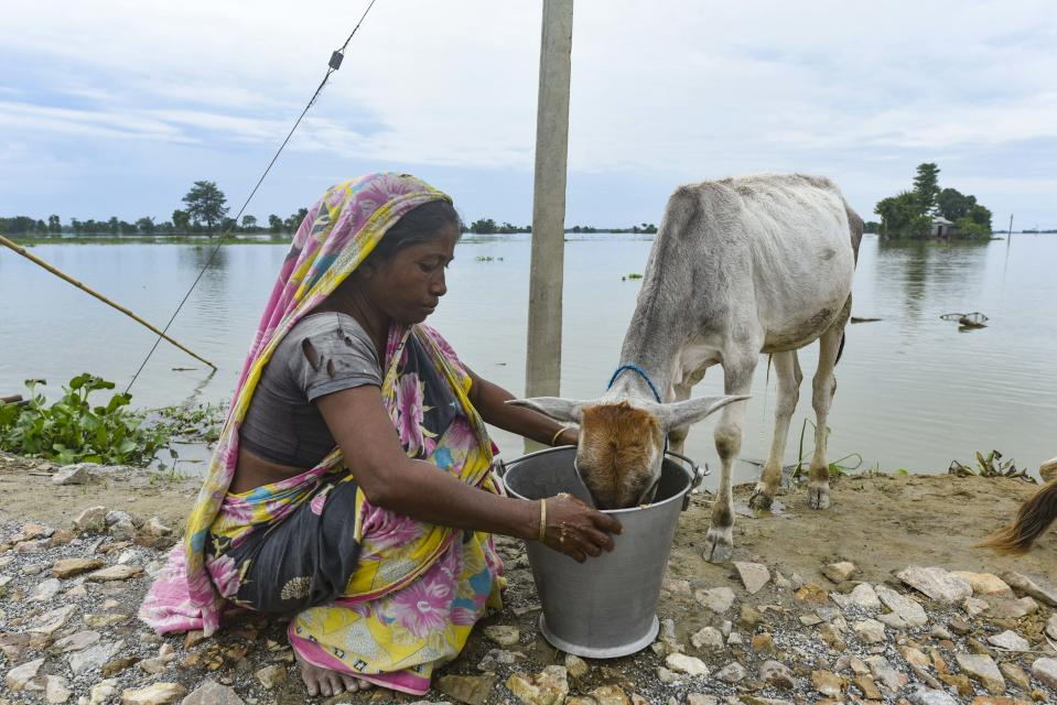 A woman feed her cattle, in a flood affected village in Morigaon district of Assam, in India on Monday, 20 July 2020. (Photo by David Talukdar/NurPhoto via Getty Images)