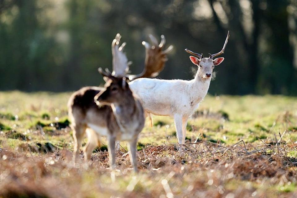 File picture of deer in Bushy Park (PA Wire)
