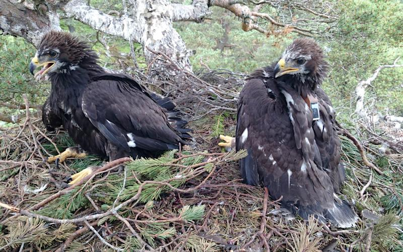 Golden eagle '338' which was satellite tagged in its nest in 2016 - Saltire News