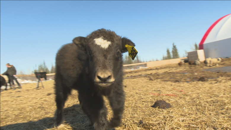 Could yaks be the N.W.T.'s new cows?
