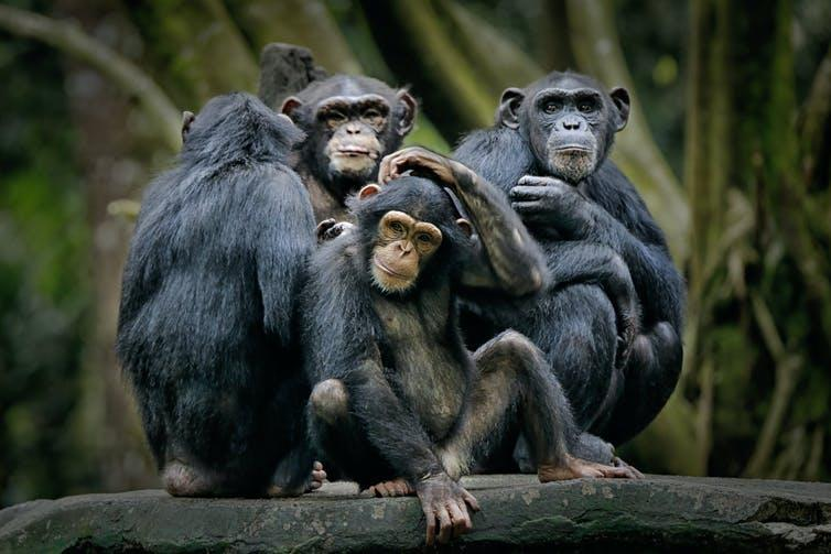 A family of chimpanzees huddling together