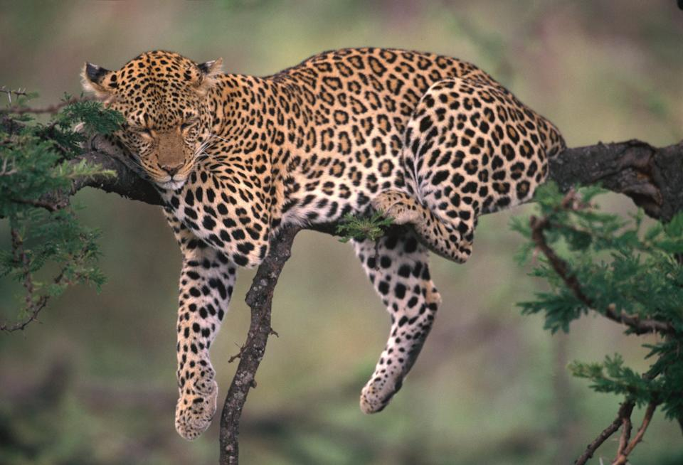 Leopards are just one of many species whose habitats are threatened by climate change. (Getty Images)