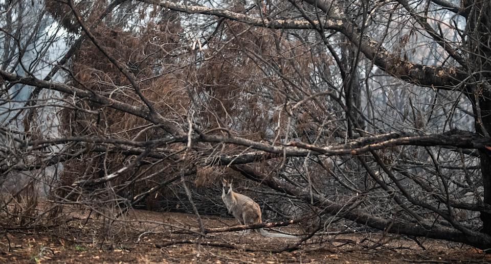 A red neck Wallaby sheltering near burnt out bushland near Cobargo, Thursday, January 16, 2020. Source: AAP