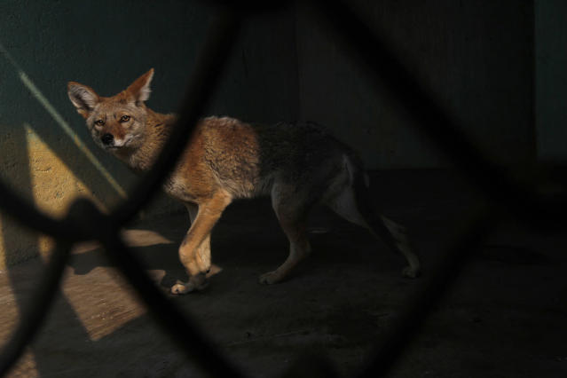 <p>A Mexican Coyote, that had been rescued with other animals while being trafficked illegally, is seen through the bars of an enclosure at the Federal Wildlife Conservation Center on the outskirts of Mexico City May 20, 2011. According to Mexico's Federal Wildlife Conservation Department, at least 2,500 different animals are rescued annually in the country, 70 percent from illegal animal trafficking within and outside the country and 30 percent from domestic captivity. (Photo: Carlos Jasso/Reuters) </p>
