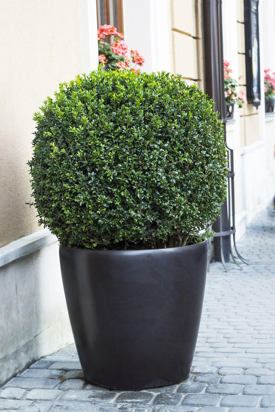 "<p>Boxwoods are evergreens that can be sheared into shapes or left to remain natural. Look for new varieties that maintain their forms without trimming and are more cold tolerant, such as North Star and Sprinter. Boxwoods will tolerate a wide range of light conditions from part shade to full sun.</p><p><a class=""link rapid-noclick-resp"" href=""https://www.provenwinners.com/plants/buxus/sprinter-boxwood-buxus-microphylla"" rel=""nofollow noopener"" target=""_blank"" data-ylk=""slk:SHOP NOW"">SHOP NOW</a></p>"