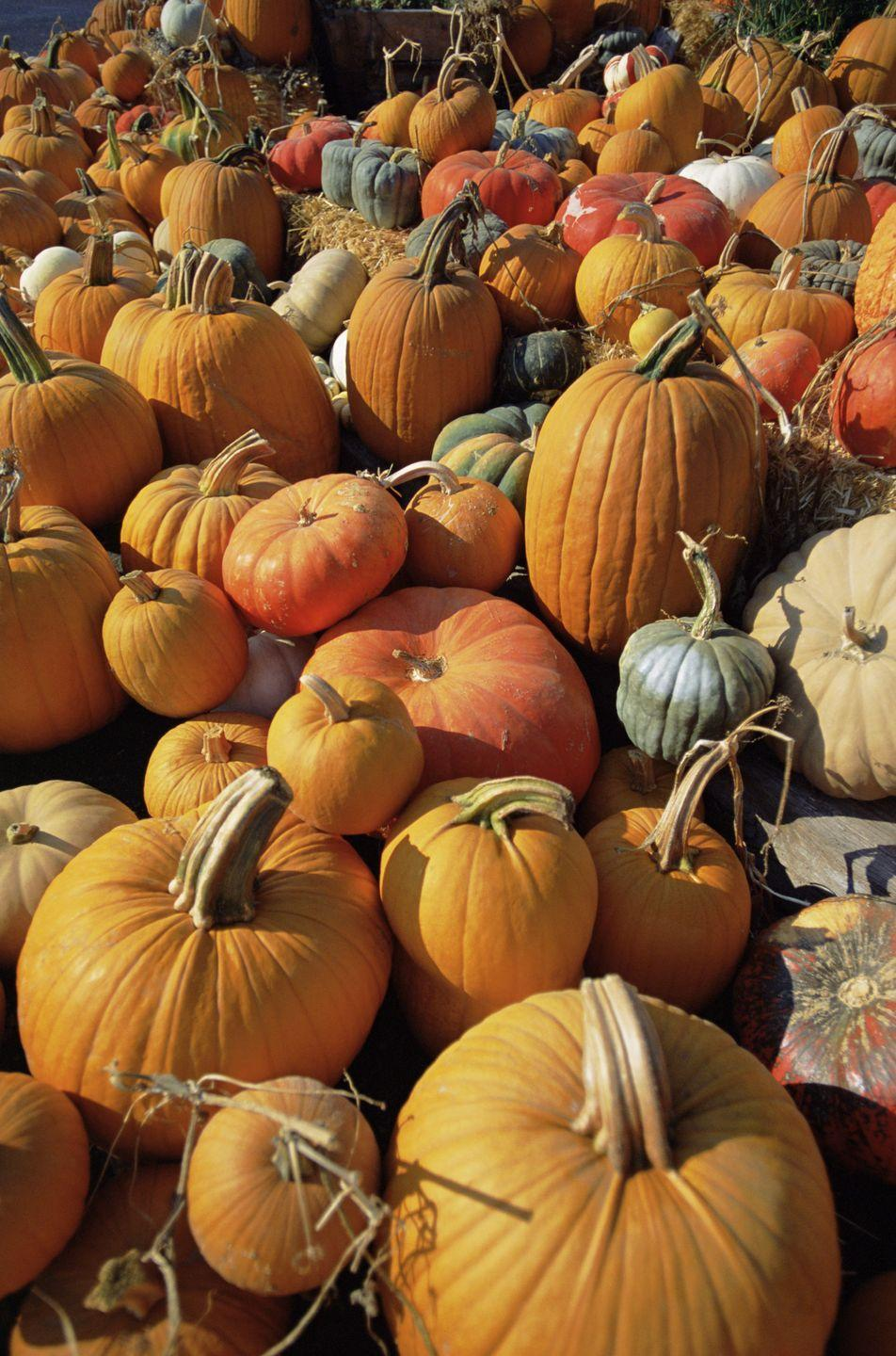 """<p><strong>Orem, Utah <strong>(Sept 10-Oct 30)</strong><br></strong></p><p>It's all about pumpkins at <a href=""""https://wilkersonfarm.com/fall-fair"""" rel=""""nofollow noopener"""" target=""""_blank"""" data-ylk=""""slk:Wilkerson Farm"""" class=""""link rapid-noclick-resp""""><strong>Wilkerson Farm</strong></a>. General admission to the Fall Festival is $12.50 per person with free admission for children ages 4 and under. Get a season pass for $38 and celebrate throughout the week (Mon-Sat). All attractions and rides such as Milly's Mini Maze and Wilkerson's Windmill are included with admission for you and your loved ones! Admission is not required for the pumpkin patch, so feel free to find your perfect pick this season. </p><p><em>*This photo is not from Pack Farms.</em></p>"""