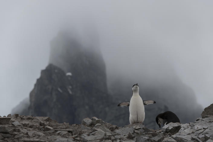 A chinstrap penguin nesting at Spigot Peak, in Orne Harbor on the Antarctic peninsula, on Feb. 6, 2020. | Christian Åslund —Greenpeace and TIME