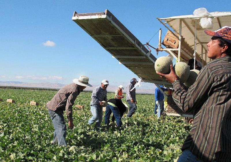 FILE - In this Oct. 12, 2011, file photo, one of the few remaining crews of workers harvest and package cantaloupes near Firebaugh, Calif. With Congress considering a new immigration reform proposal that includes a speedier process to legal status for farmworkers, experts say, the best indicator of how such reform would play out is to look at the fate of the generation of farmworkers who were legalized over two decades ago. (AP Photo/ Gosia Wozniacka, File)