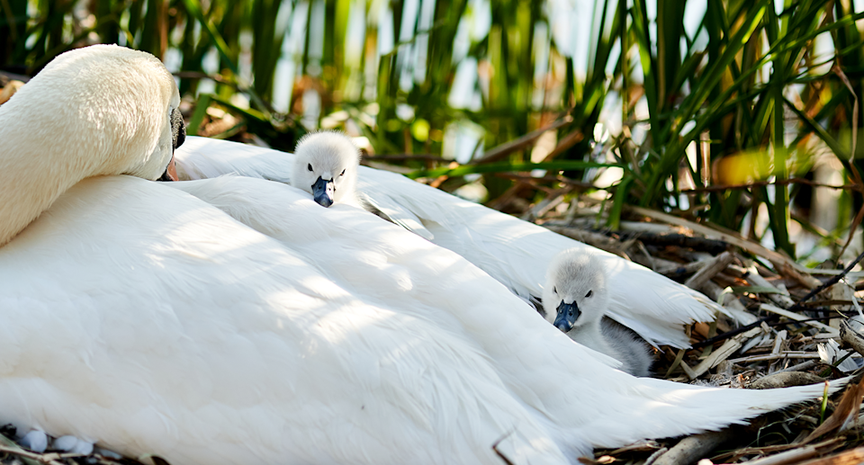 A swan pictured with her young.
