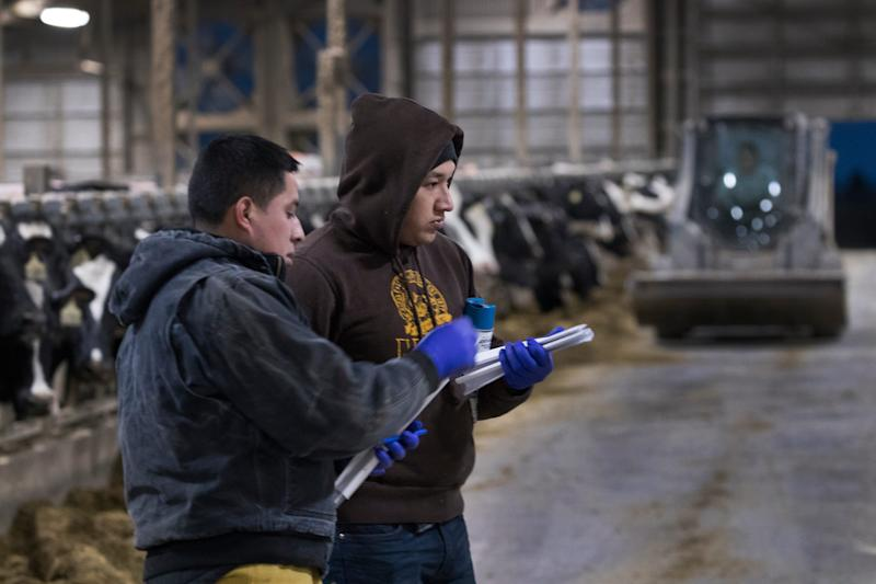 Workers take care of dairy cattle at Drake Dairy in Elkhart Lake.
