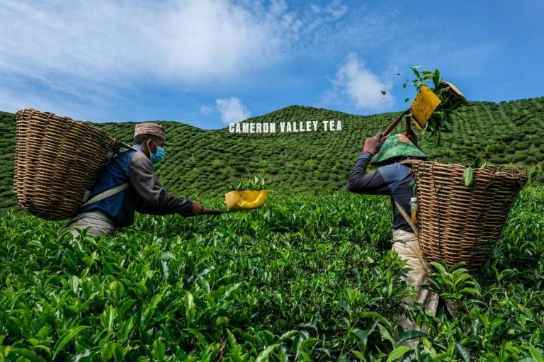 Farmers in Malaysia's Cameron Highlands are fighting for survival as the pandemic hammers revenues
