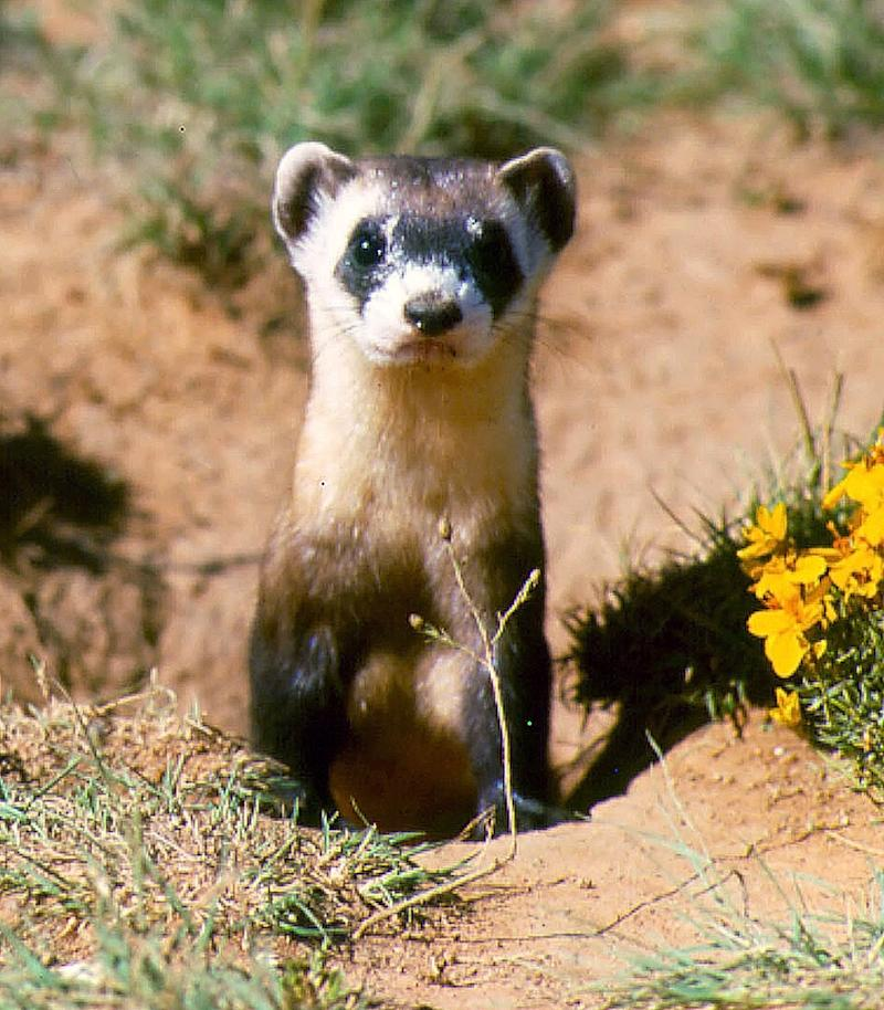 Feds to boost ailing ferrets across Great Plains