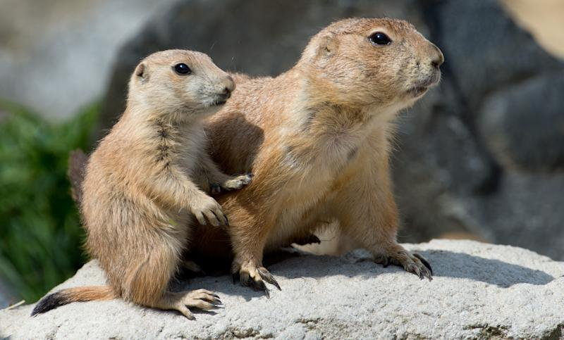 Multiple cases of the plague in Denver-area prairie dogs prompted the cancellation of postgame festivities at a Colorado Rapids game. (Getty)