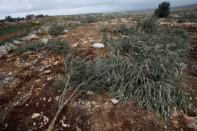 Olive trees, which according to Palestinians were cut down by Israeli settlers, are seen in Deir Ballut in the Israeli-occupied West Bank