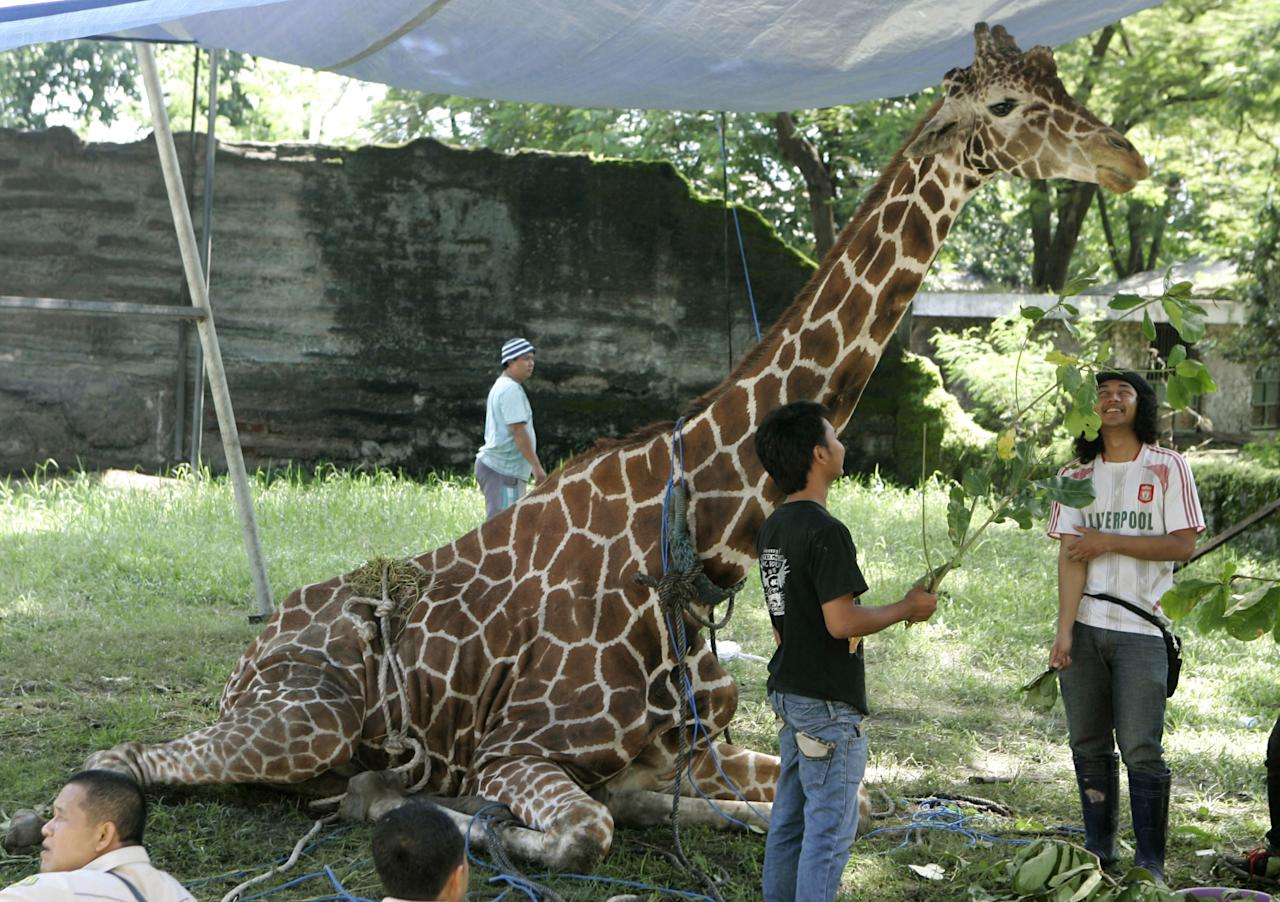 HOLD FOR STORY INDONESIA NIGHTMARE ZOO -FILE - In this March 1, 2012 file photo, Kliwon, a 30-year-old male African giraffe receives treatment from keepers at the Surabaya Zoo in Surabaya, East Java, Indonesia. Kliwon, the only giraffe in the zoo, later died with a huge wad of plastic food wrappers found in its belly. Indonesia's biggest zoo, once boasting one of the most impressive and well cared for collections of animals in Southeast Asia, is struggling for its existence following reports of suspicious animal deaths and disappearances of endangered species. (AP Photo/Trisnadi, File)