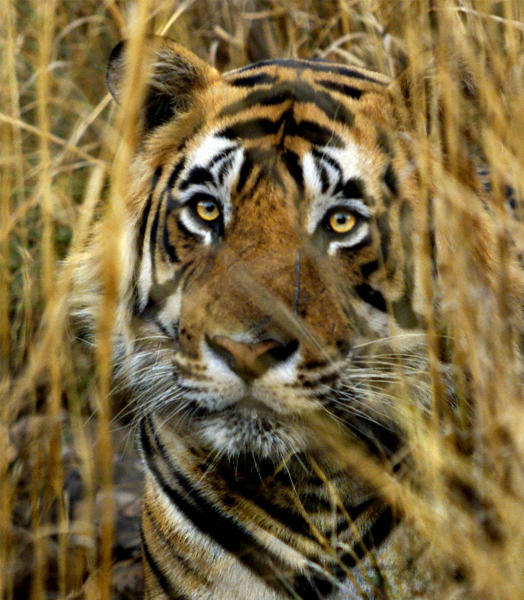 FILE - In this March 23, 2000 file photo, an Indian tiger looks out from a cover of straw grass in Ranthambhore National Park in India. India's top court has lifted a ban on tourism in tiger reserves across the country but asked local governments to regulate visitors. In July the Supreme Court had ordered a complete ban on tourism inside tiger reserves while the government formulated new guidelines. The ban was lifted late Tuesday, Oct. 16, 2012 after the government announced new rules aimed at allowing tourism to co-exist with conservation. (AP Photo/J. Scott Applewhite, File)