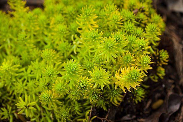 "<p>Low-growing varieties of sedum make easy-to-care-for ground covers, especially since its fleshy leaves retain enough water to survive dry spells. While some have small flowers, the main focal point is the colorful foliage, which ranges from chartreuse to bronze. It needs full sun to survive.</p><p><a class=""link rapid-noclick-resp"" href=""https://go.redirectingat.com?id=74968X1596630&url=https%3A%2F%2Fwww.etsy.com%2Flisting%2F807690859%2Fsedum-lemon-coral-great-ground-cover&sref=https%3A%2F%2Fwww.goodhousekeeping.com%2Fhome%2Fgardening%2Fg32440508%2Fbest-ground-cover-plants%2F"" rel=""nofollow noopener"" target=""_blank"" data-ylk=""slk:SHOP NOW"">SHOP NOW</a></p>"
