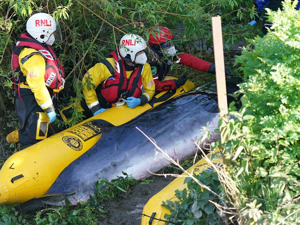<p>Members of the RNLI attempt to assist the minke whale at Teddington lock</p> (PA)
