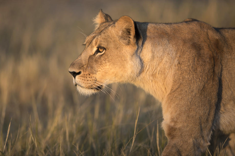 A lioness on the move inside Liuwa Plain National Park, Zambia. (Photo: Will Burrard-Lucas/Caters News)