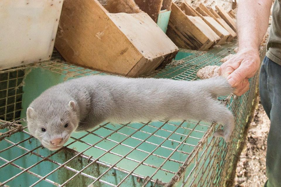A mink with pale fur on top of a cage, indoors. A human hand is holding its tail.