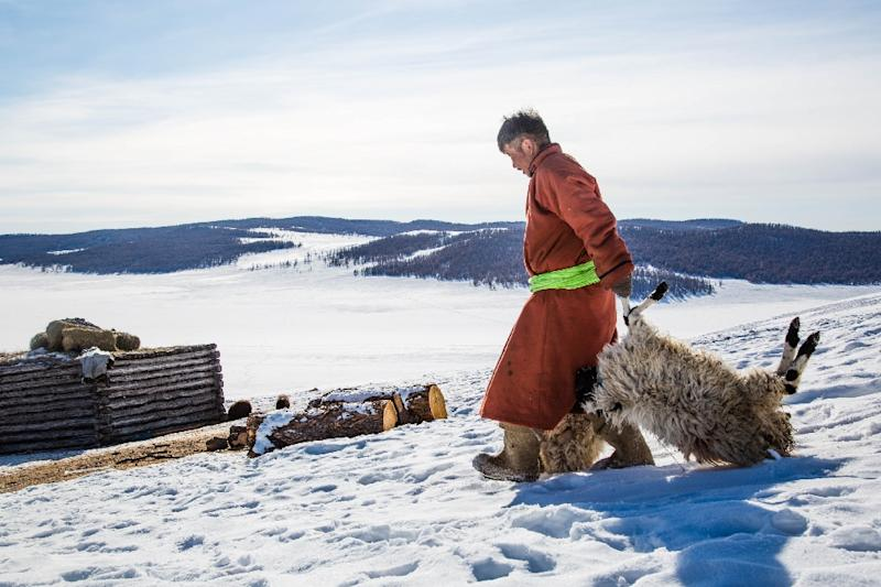 """Mongolian herder Munkhbat Bazarragchaa drags two sheep, which died due to severe weather, to a pile of dead animals behind his """"ger"""" in Khuvsgul province, northern Mongolia in a photo taken on February 12, 2017 (AFP Photo/Mirva HELENIUS)"""