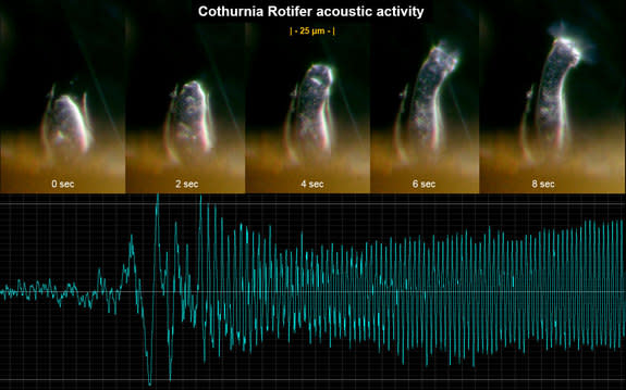 A remote acoustic sensor (RAS) view of the acoustic activity generated by a rotifer of the genus Cothurnia, a protozoan that uses whirling cilia to pump food and water through its digestive system. RAS can detect the low-frequency modulations p