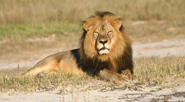 Xanda, the son of Cecil (pictured), was apparently shot dead by a group led by a professional hunter. Photo: AAP