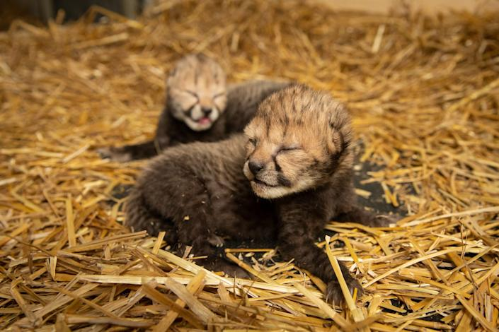 Two cheetah cubs born Wednesday at the Columbus Zoo and Aquarium, the first in the world to be conceived using in vitro fertilization.