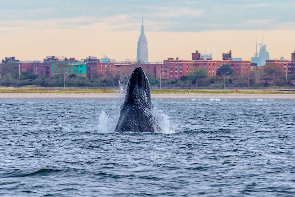 <p>A humpback whale's nose jumps out of the water off of the Rockaway Peninsula with the city skyline in the background. </p>
