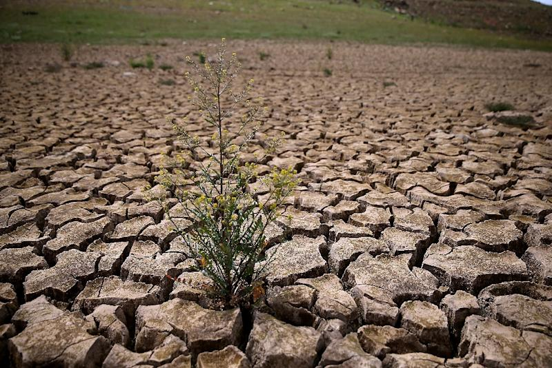 Weeds grow in dry cracked earth that used to be the bottom of Lake McClure on March 24, 2015 in La Grange, California (AFP Photo/Justin Sullivan)