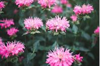 <p>Bee balm isn't just a great option for attracting bees—this beautiful flower is also alluring to butterflies. These perennials fare best in USDA Hardiness Zones 4-9 and bloom in the summertime.</p>