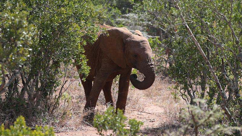 Oldest elephants tend to lead all-male groups, study suggests