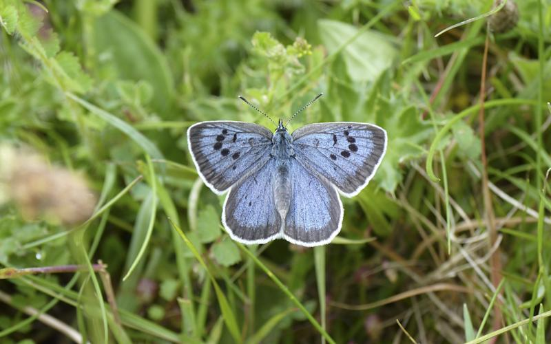 Large Blue Butterflies are under threat because of the decline of meadows - Credit: National Trust